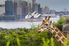 SYDNEY, AUSTRALIEN - 27. DEZEMBER 2015 Giraffen an Taronga-Zoo w Stockfoto