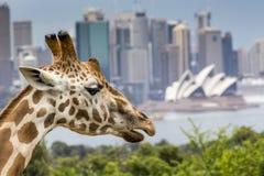 SYDNEY, AUSTRALIEN - 27. DEZEMBER 2015 Giraffen an Taronga-Zoo w Lizenzfreie Stockfotos