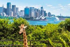 Sydney, Australien - 11. Januar 2014: Giraffe an Taronga-Zoo in Sydney mit Hafen-Brücke im Hintergrund Lizenzfreie Stockfotos