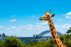 Sydney Australien - Januari 11, 2014: Giraff på den Taronga zoo i Sydney med hamnbron i bakgrund Arkivbild