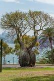 SYDNEY, AUSTRALIEN - 5. NOVEMBER 2014: Baum in den königlichen botanischen Gärten, Sydney australien Lizenzfreie Stockbilder