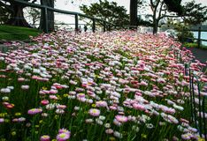 Parterre of pinky flowers at Mrs Macquarie`s Chair, Sydney, New South Wales, Australia. Sydney, capital of New South Wales and one of Australia`s largest cities stock photos
