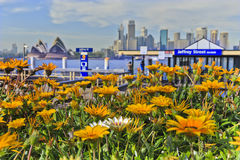 Sydney CBD Milsons point foreground flowers. Blooming gerbera flowers at Milsons point in Sydney with foreground focus against city CBD landmark on sunlit spring royalty free stock photography