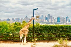 Giraffe in Sydney. Sydney City View with giraffe Royalty Free Stock Photos