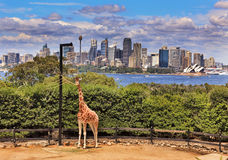 Sydney City Whole Giraffe foto de archivo