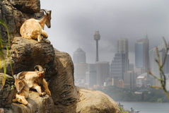 Sydney Goats. Three Goats in Sydney Zoo royalty free stock photo