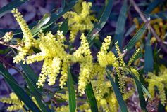 Sydney Golden Wattle (Acacia longifolia) Royalty Free Stock Photography