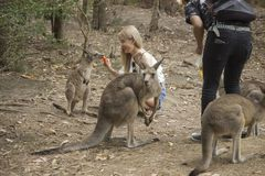 Young woman feeding a kangaroo. SYDNEY, NSW, AUSTRALIA - JANUARY 27, 2018: Young woman feeding a kangaroo in the nature. Morissete Park Royalty Free Stock Images