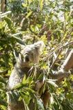 Sydney, NSW/Australia: Koala che dorme sul suo albero di eucalyptus fotografia stock libera da diritti