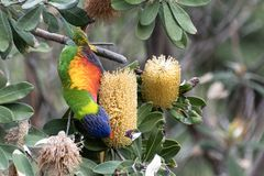 Sydney, NSW/Australia: Swift parrot eating on a tree stock photos