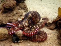 Sydney Octopus commun Image stock