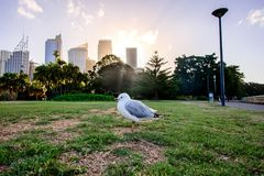 SYDNEY - 12 oktober: duif in Sydney Royal Botanic Garden op 12 Oktober, 2017 in Sydney, Australië Stock Afbeelding