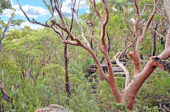 Sydney Red Gum & x28; Costata& x29 de Angophora; no arbusto australiano fotografia de stock royalty free
