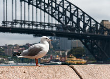 Sydney seagull. A seagull standing on top of a wall with the Sydney Harbour Bridge in the background Stock Images