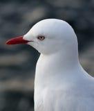 Sydney Seagull Fotos de archivo libres de regalías