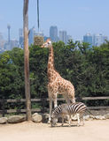 Sydney Zoo. Zebra & Giraffe Stock Photo