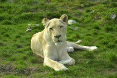 Sydostligt afrikanskt lejon fotografering för bildbyråer