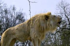 Sydostligt afrikanskt lejon royaltyfri fotografi