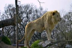 Sydostligt afrikanskt lejon arkivbild