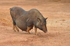 Sydostligt asiatiskt svin royaltyfria bilder
