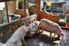Sydostligt asiatiskt svin arkivfoto
