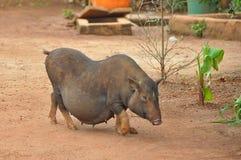 Sydostligt asiatiskt svin arkivbild