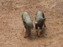 Sydostligt asiatiskt svin royaltyfri foto