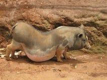 Sydostligt asiatiskt svin arkivbilder
