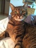 Syga den oförskräckta Tabby Cat Royaltyfria Foton