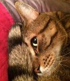 Syga den oförskräckta Tabby Cat Fotografering för Bildbyråer