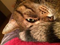 Syga den oförskräckta Tabby Cat Royaltyfria Bilder