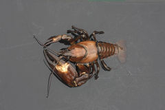 Sygnałowy rakowy, Pacifastacus leniusculus Fotografia Stock