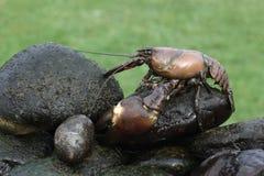 Sygnałowy rakowy, Pacifastacus leniusculus Zdjęcia Royalty Free