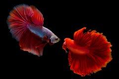 Syjamscy boju betta lub ryba splendens Fotografia Stock
