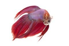 Syjamska bój ryba obrazy stock