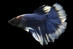 Syjamska bój ryba zdjęcia stock