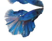 Syjamska bój ryba Fotografia Stock
