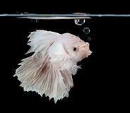 Syjamska bój ryba fotografia royalty free