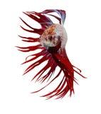 Syjamska bój ryba, betta odizolowywający Zdjęcia Stock