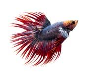 Syjamska bój ryba, betta ryba na białym tle Obrazy Stock