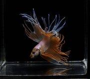 Syjamska bój ryba, Betta splendens, Crowntail, czerwieni ryba na czarnym tle, Halfmoon Betta obraz stock