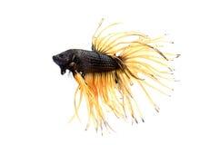 Syjamska bój ryba odizolowywająca na bielu. Obrazy Stock