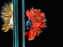 Syjamska bój ryba, ruch Wielo- colour boju siamese ryba odizolowywająca na czarnym tle obrazy stock