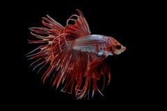 Syjamska bój ryby czerwieni ryba na czarnym tle, Halfmoon Betta fotografia royalty free