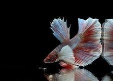 Syjamska bój ryby czerwieni ryba na czarnym tle, Halfmoon Betta, Duży ucho obraz royalty free