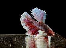 Syjamska bój ryby czerwieni ryba na czarnym tle, Halfmoon Betta, Duży ucho zdjęcie stock
