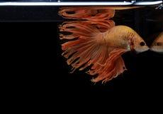 Syjamska bój ryby yellew ryba, czarni tła Betta splendens, Betta ryba, Halfmoon Betta obrazy royalty free