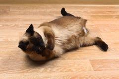 Syjamska lub Tajlandzka kota oblizania łapa Kot obezwładniają Trzy łapy, żadny kończyna zdjęcie stock