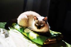 Syjamski żeński kot na łóżku fotografia royalty free