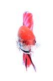Syjamski bój fish++ Obrazy Stock